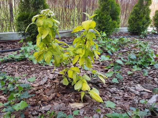 Kalina - dekoracyjny krzew ogrodowy